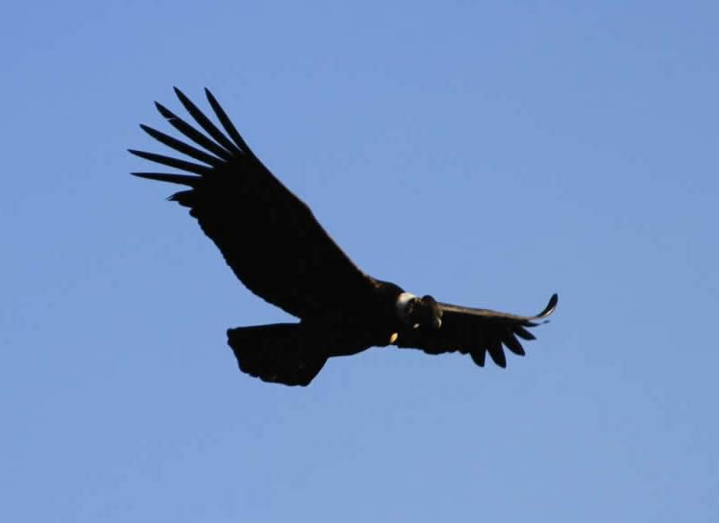 condor over apurimac river