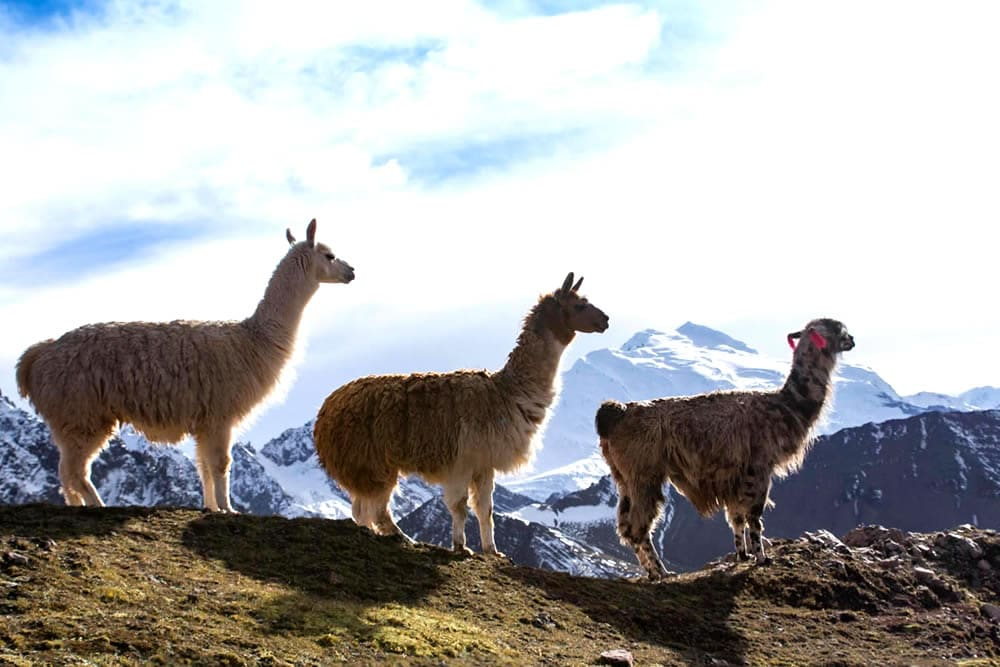 3 Llamas stand looking people who are hiking through Ausangate path