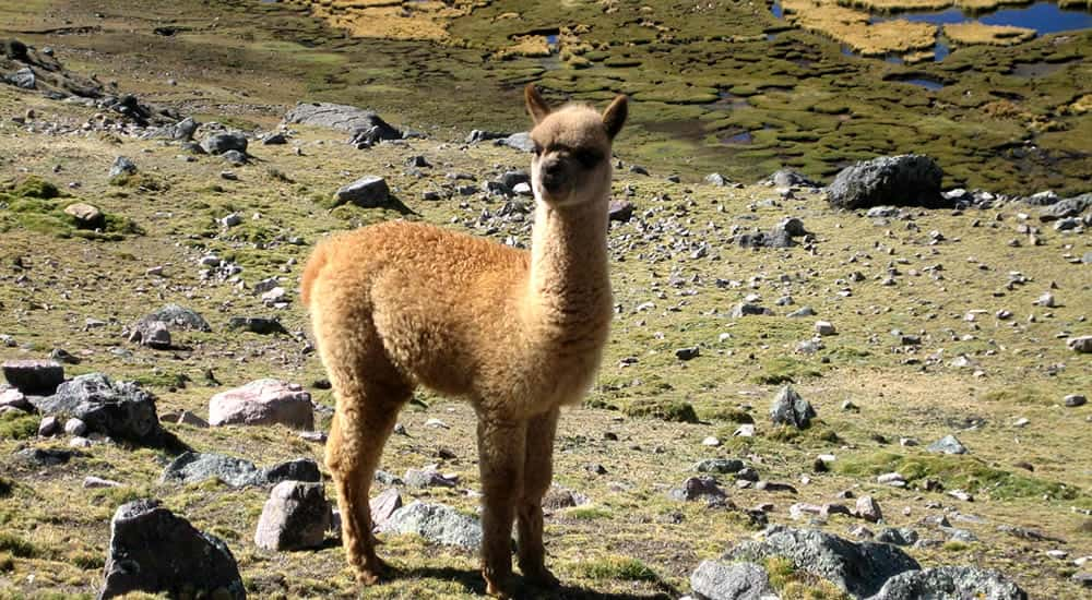 Baby alpaca at Apu tacllo mountain