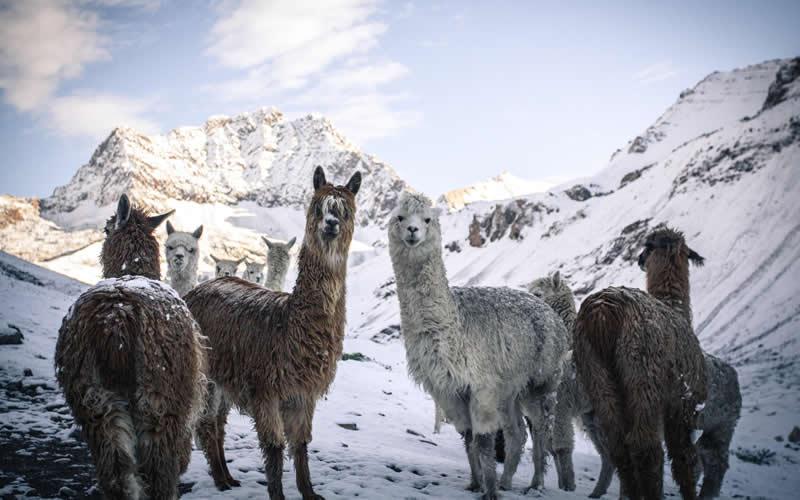 ausangate alpacas