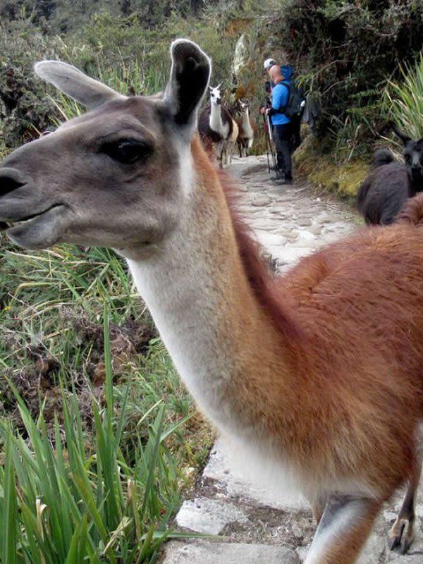 inca trail llama